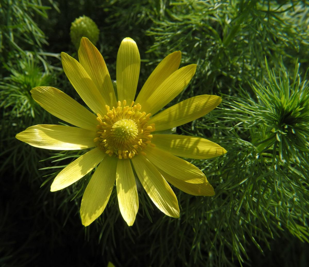 Fruehlings Adonisroeschen Bluete gelb Adonis vernalis