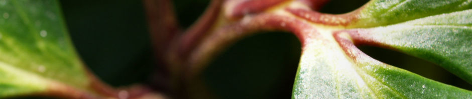 fruehlingschristrose-bluete-weiss-helleborus-orientalis