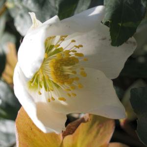 Fruehlings Christrose Bluete weiss Helleborus orientalis 06