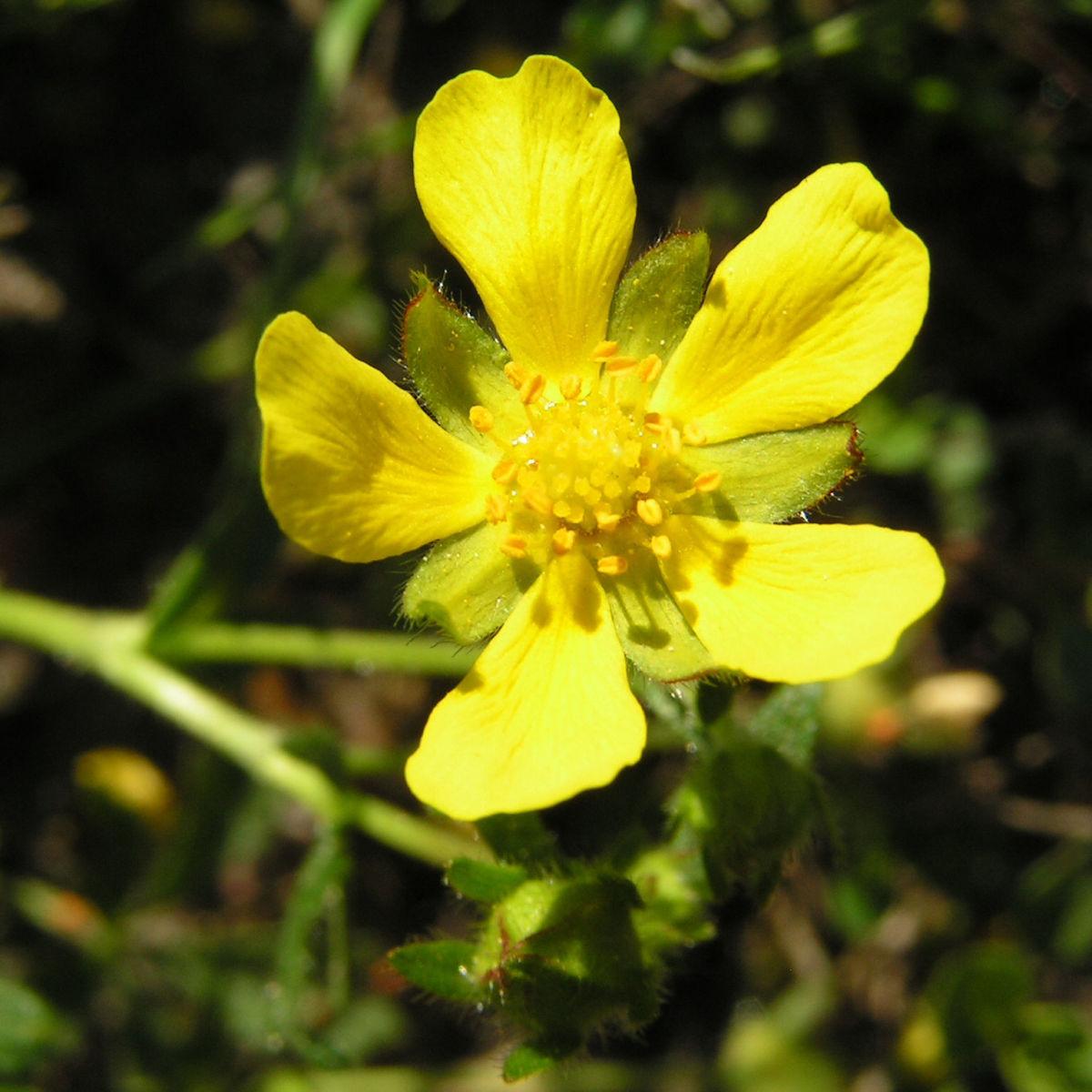 Fruehlings Fingerkraut Bluete gelb Potentilla tabernaemontani