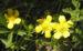 Zurück zum kompletten Bilderset Frühlings Fingerkraut Blüte gelb Potentilla tabernaemontani