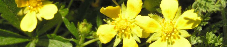 Anklicken um das ganze Bild zu sehen Frühlings Fingerkraut Blüte gelb Potentilla tabernaemontani