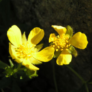 Fruehlings Fingerkraut Bluete gelb Potentilla tabernaemontani 03