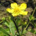 Fruehlings Fingerkraut Bluete gelb Potentilla tabernaemontani 04