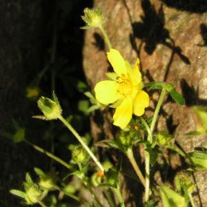 Bild: Fruehlings Fingerkraut Bluete gelb Potentilla tabernaemontani