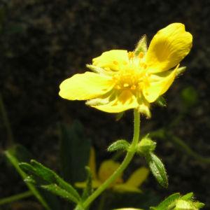 Fruehlings Fingerkraut Bluete gelb Potentilla tabernaemontani 07