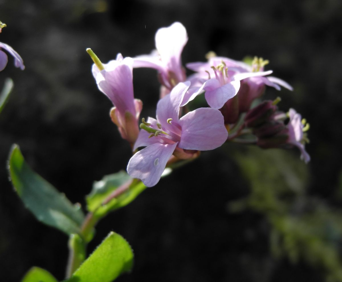 Fruehlings Gaensekresse Bluete pink Arabis verna
