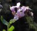 Zurück zum kompletten Bilderset Frühlings-Gänsekresse Blüte pink Arabis verna