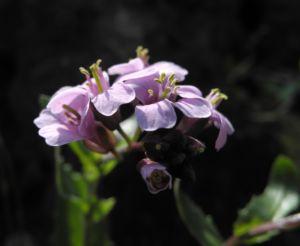 Fruehlings Gaensekresse Bluete pink Arabis verna 03