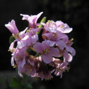 Fruehlings Gaensekresse Bluete pink Arabis verna 05