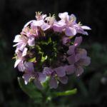 Fruehlings Gaensekresse Bluete pink Arabis verna 07