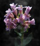 Fruehlings Gaensekresse Bluete pink Arabis verna 12