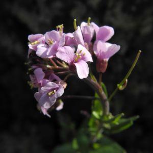 Fruehlings Gaensekresse Bluete pink Arabis verna 13
