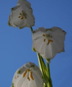 Fruehlings Knotenblume Bluete weiss Leucojum vernum 10