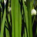 Bild: Frühlings-Knotenblume Blüte weiß Leucojum vernum