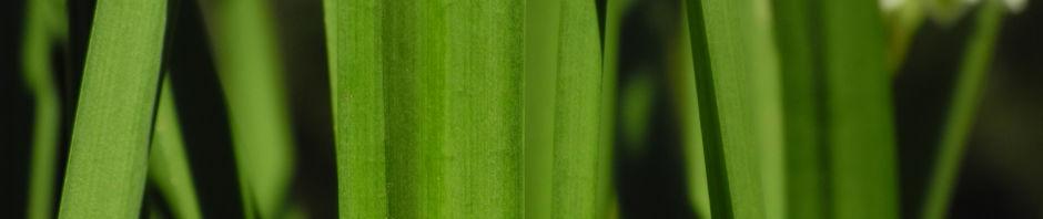 Anklicken um das ganze Bild zu sehen Frühlings-Knotenblume Blüte weiß Leucojum vernum