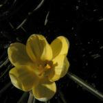 Fruehlings Krokus Bluete gelb Crocus vernus 05
