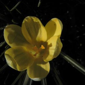 Fruehlings Krokus Bluete gelb Crocus vernus 06