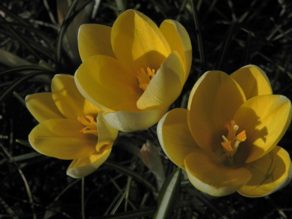 Fruehlings Krokus Bluete gelb Crocus vernus