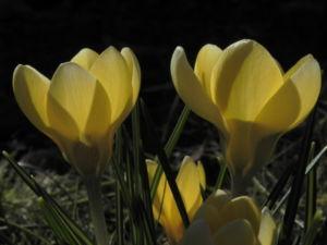 Fruehlings Krokus Bluete gelb Crocus vernus 18