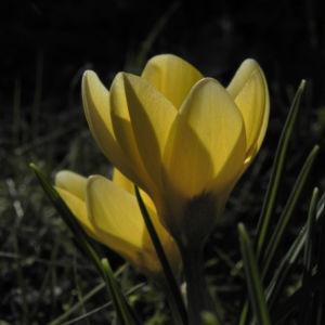 Fruehlings Krokus Bluete gelb Crocus vernus 19