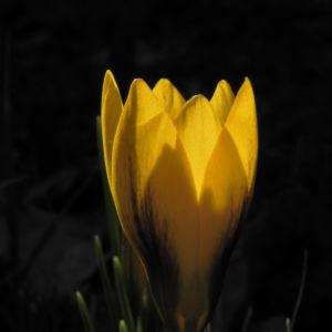 Fruehlings Krokus Bluete gelb Crocus vernus 20