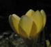 Zurück zum kompletten Bilderset Frühlings-Krokus Blüte gelb Crocus vernus