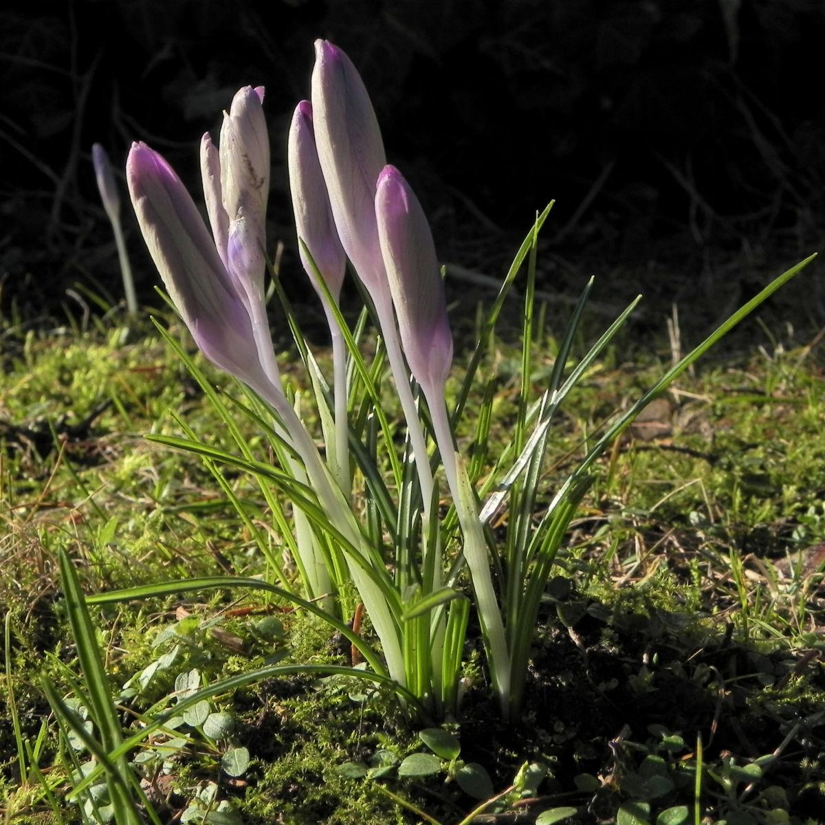 Fruehlings Krokus Bluete lila Crocus vernus