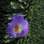 Fruehlings Krokus Bluete lila Crocus vernus 30