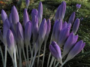 Fruehlings Krokus Bluete lila Crocus vernus 38