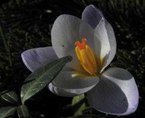 Fruehlings Krokus Bluete lila Crocus vernus 43