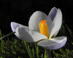 Bild: Frühlings-Krokus Blüte lila Crocus vernus