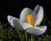 Zurück zum kompletten Bilderset Frühlings-Krokus Blüte lila Crocus vernus