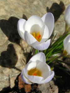 Frühlings-Krokus Blüte weiß Crocus vernus 02