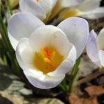 Frühlings-Krokus Blüte weiß Crocus vernus 03