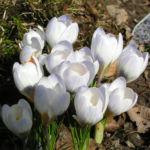 Frühlings-Krokus Blüte weiß Crocus vernus 06