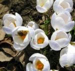Frühlings-Krokus Blüte weiß Crocus vernus 08