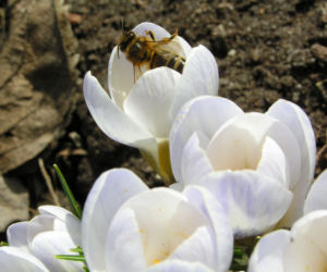 Frühlings-Krokus Blüte weiß Crocus vernus 12