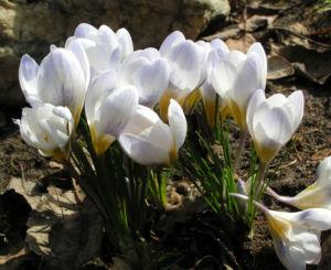 Frühlings-Krokus Blüte weiß Crocus vernus 17