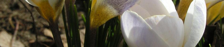 Anklicken um das ganze Bild zu sehen  Frühlings-Krokus Blüte weiß Crocus vernus