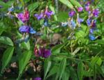 Fruehlings Platterbse Bluete blau lila Lathyrus vernus 13