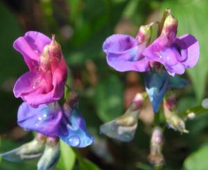 Fruehlings Platterbse Bluete blau lila Lathyrus vernus 16