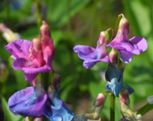 Fruehlings Platterbse Bluete blau lila Lathyrus vernus 17