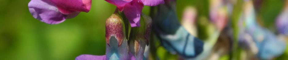 Anklicken um das ganze Bild zu sehen Frühlings-Platterbse Bluete blau lila Lathyrus vernus