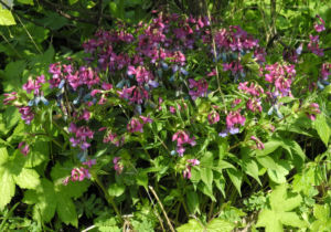 Fruehlings Platterbse Bluete lila Lathyrus vernus 01
