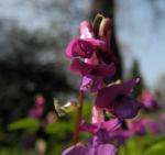 Fruehlings Platterbse Bluete lila Lathyrus vernus 03