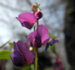 Fruehlings Platterbse Bluete lila Lathyrus vernus 04