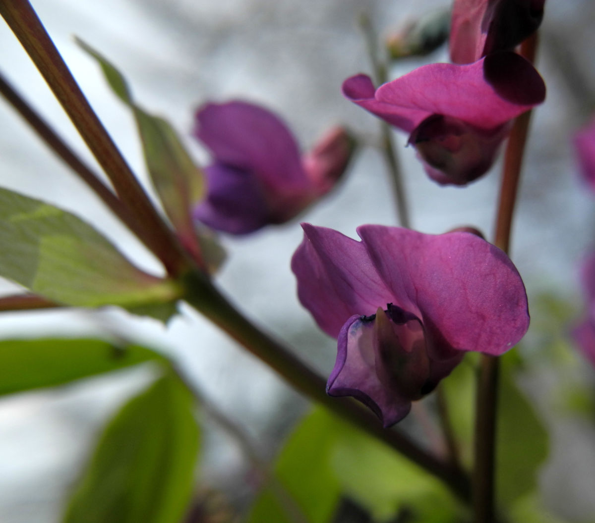 Fruehlings Platterbse Bluete lila Lathyrus vernus