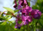 Fruehlings Platterbse Bluete lila Lathyrus vernus 06