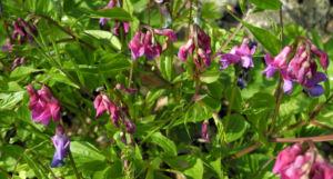 Fruehlings Platterbse Bluete lila Lathyrus vernus 12